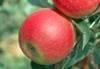Image d'une pomme rouge suisse